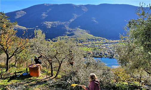Olive Harvesting at Our Italian Villa